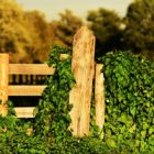 , Do's and Don'ts of Fence-Friendly Vines